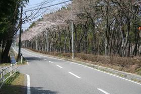 20130414sakura1.jpg