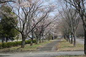 20130414sakura2.jpg