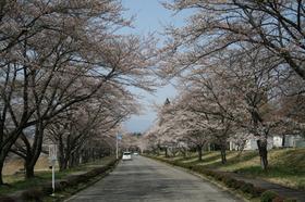 20130414sakura3.jpg