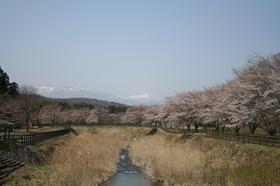 20130414sakura4.jpg