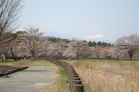 20130414sakura5.jpg