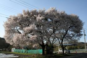 20140419sakura1.jpg