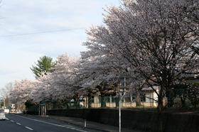 20140419sakura7.jpg